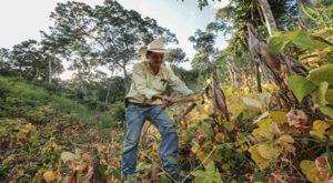 intercala cultivos de cobertura con su maíz
